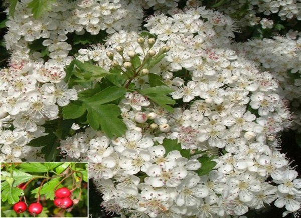 Crataegus Monogyna - White Thorn