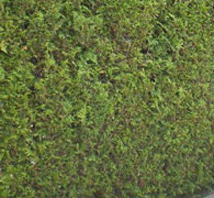 thuja brabant hedge fána nurseries ireland