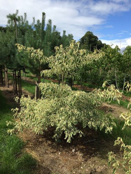 Cornus Controversa Variegata - Wedding Cake Tree