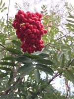 Sorbus `Sheerwater Seedling`
