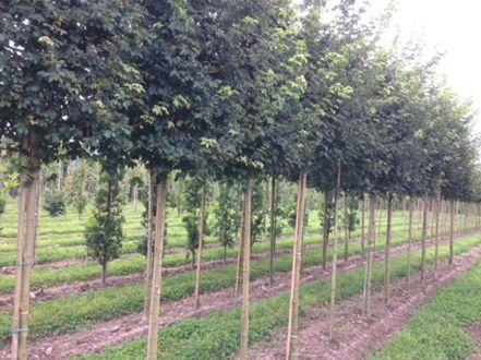 Acer Campestre Elsrijk Field Maple Cultivar Fána Nurseries Ireland